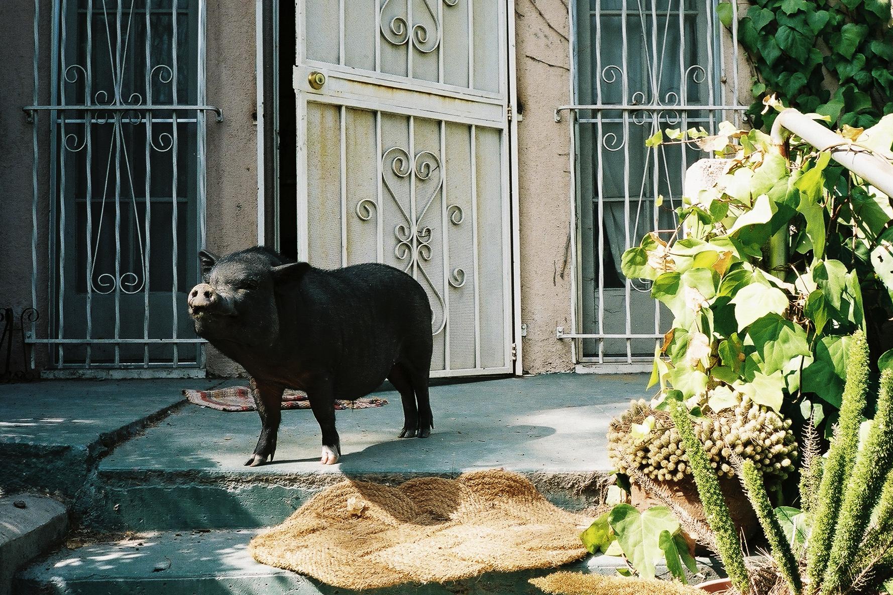 simonweller-california-pig
